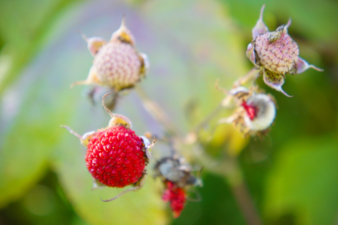 thimble berries